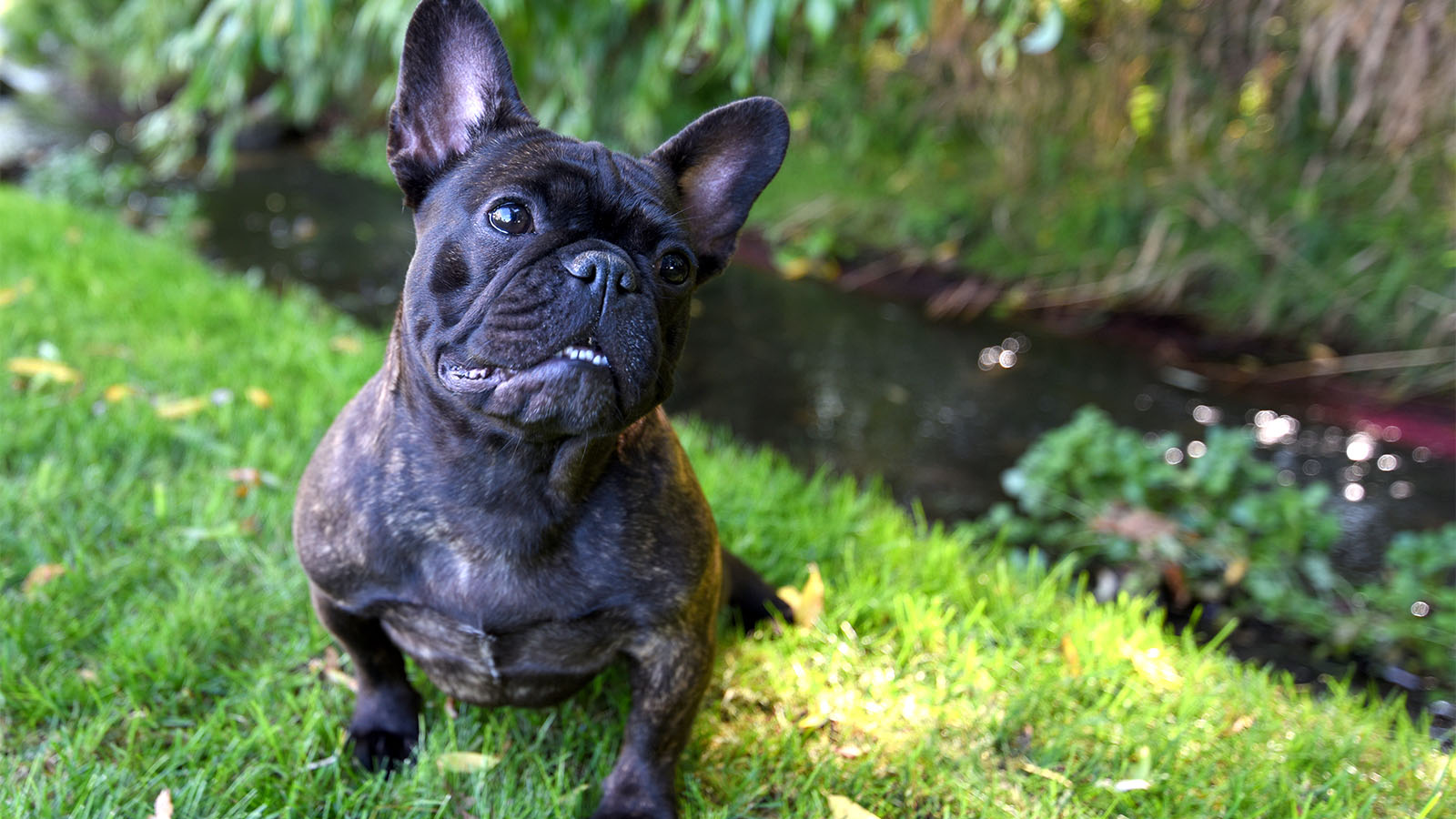 french bulldog rochester ny french bullldog breeders our wild willow frenchies dogs 2942