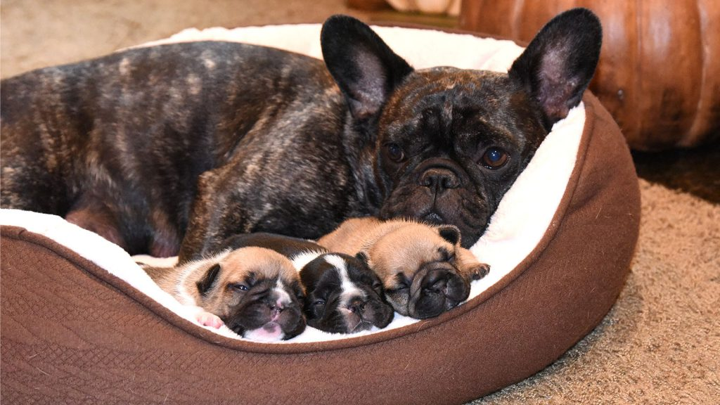 Wild Willow Frenchies - Past Litters